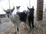 Baby_Goats_Redwood_Hill.jpg
